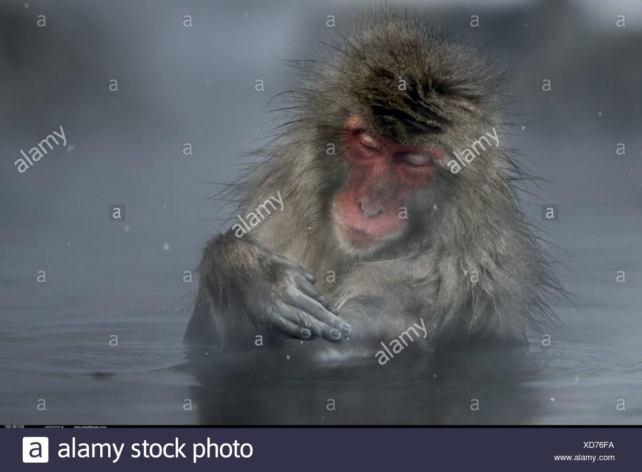 Snow monkey godendo le sorgenti calde Jigokudani Parco Nazionale del Giappone Immagini Stock