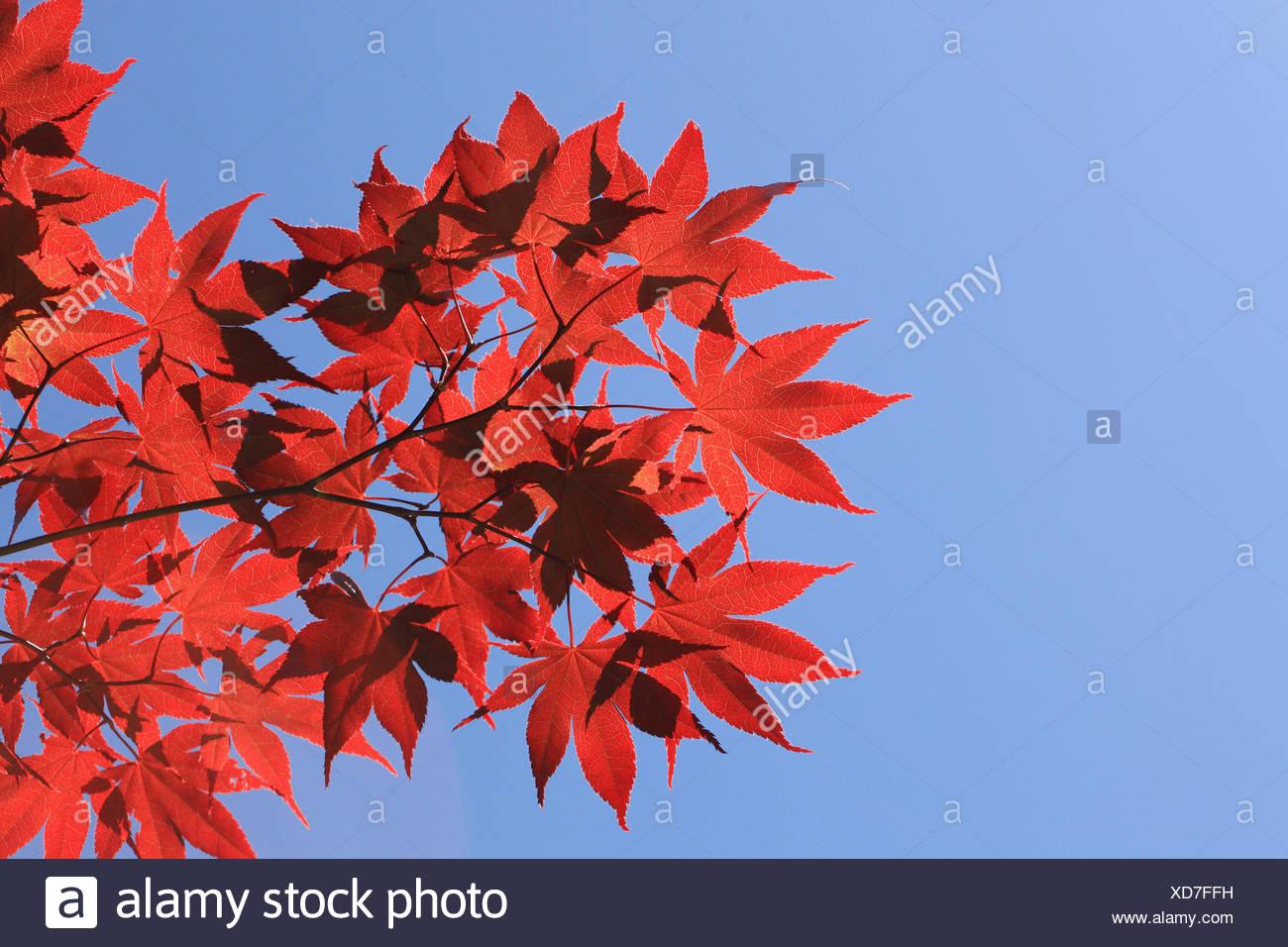 Acero Blu Giapponese giapponese o palmate acero acer palmatum, retroilluminato