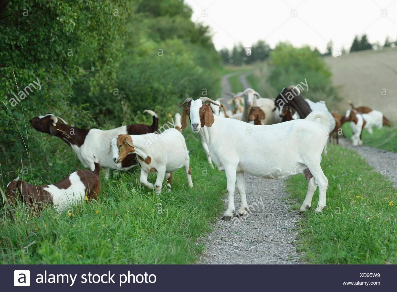 Gruppo di caproni e lei eps, Alto Palatinato, Baviera, Germania, Europa Immagini Stock