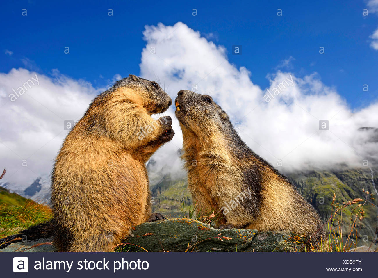 Alpenmurmeltier, Alpen-Murmeltier (Marmota marmota), zwei Murmeltiere begruessen einander, Italien | alpine marmotta (Marmota marm Immagini Stock