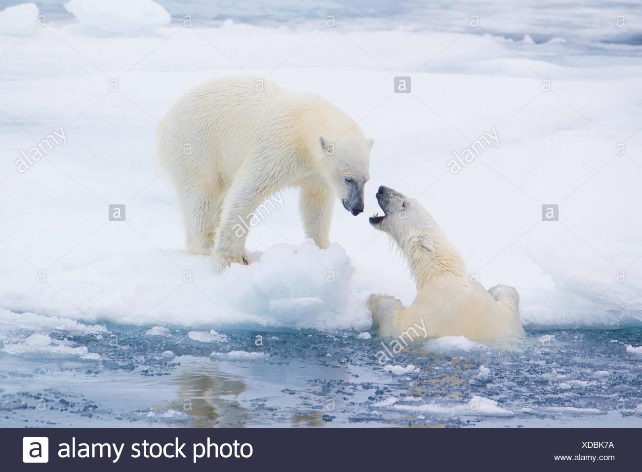 Femmina adulta orsi polari (ursus maritimus) interagendo sul mare di ghiaccio, arcipelago delle Svalbard, ARCTIC NORVEGIA Immagini Stock