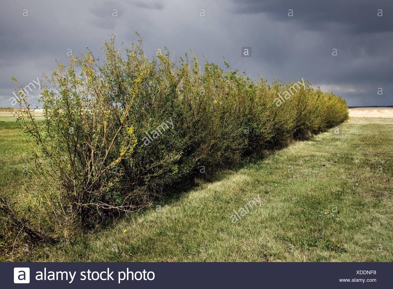 Siepe verde nel campo Immagini Stock