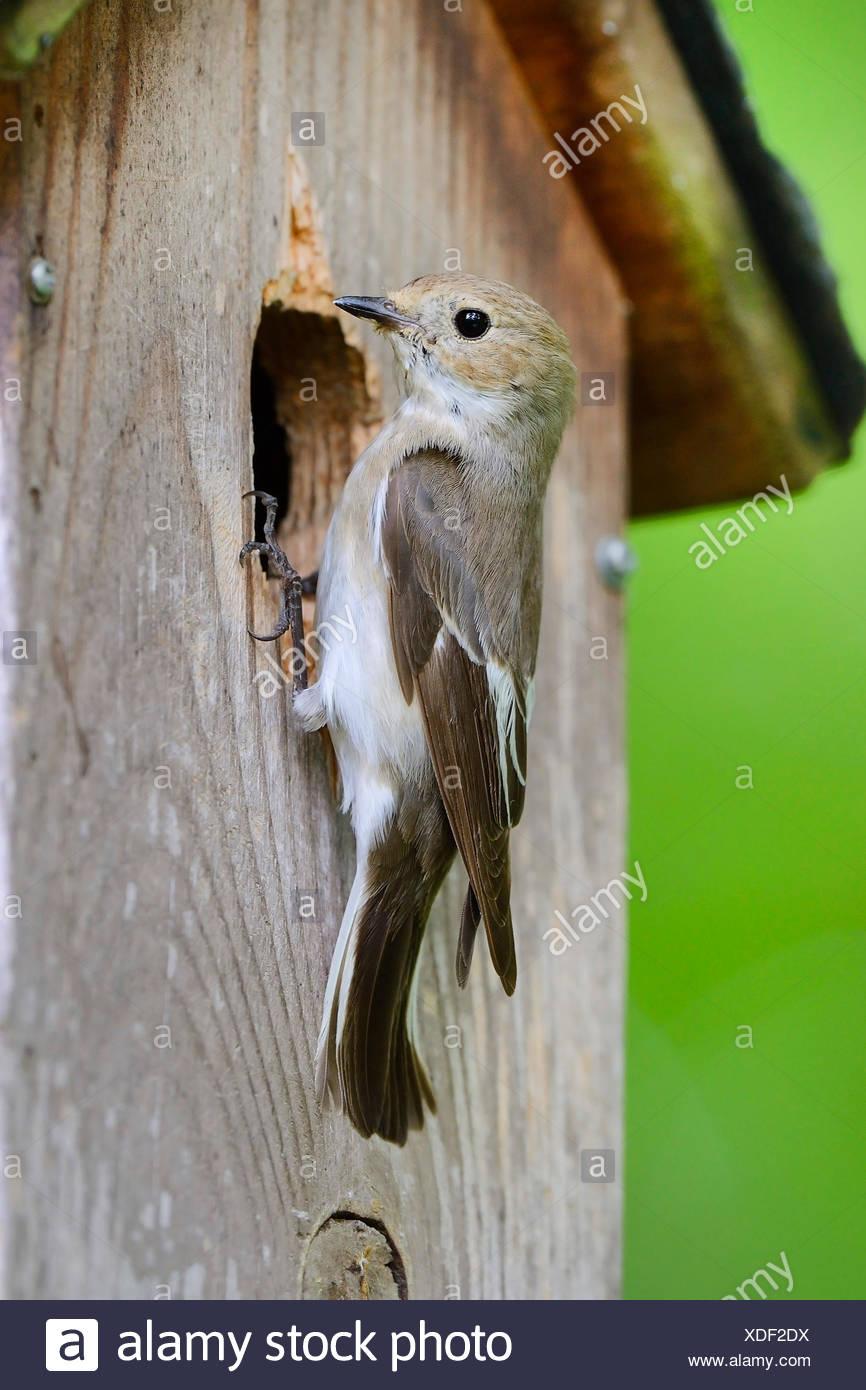 Trauerschnaepper, Trauer-Schnaepper, Trauerfliegenschnaepper, Trauer-Fliegenschnaepper (Ficedula hypoleuca), am Nistkasten, DT Immagini Stock