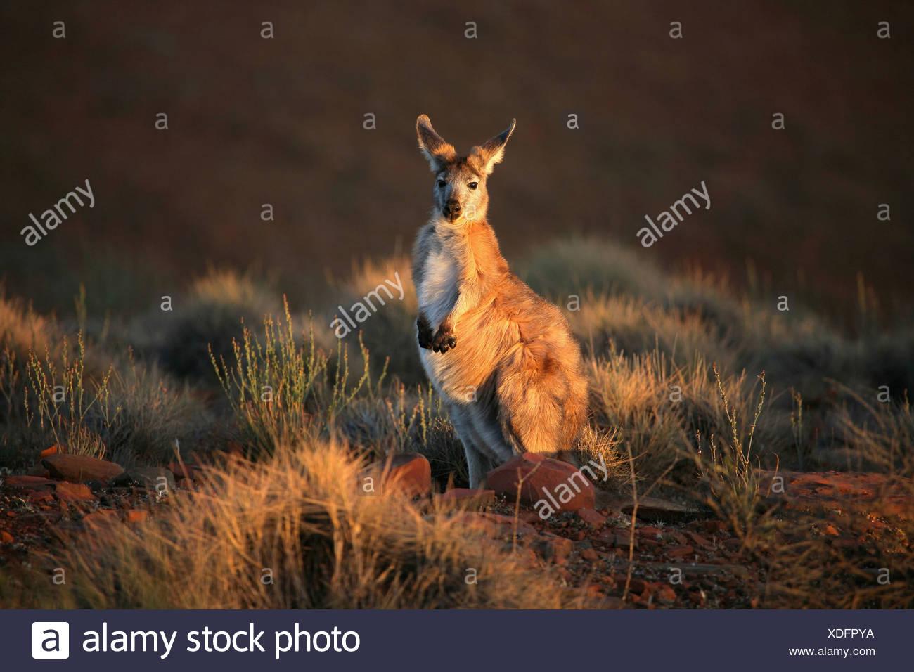 Kangaroo in una foresta, Flinders Ranges, South Australia, Australia Immagini Stock