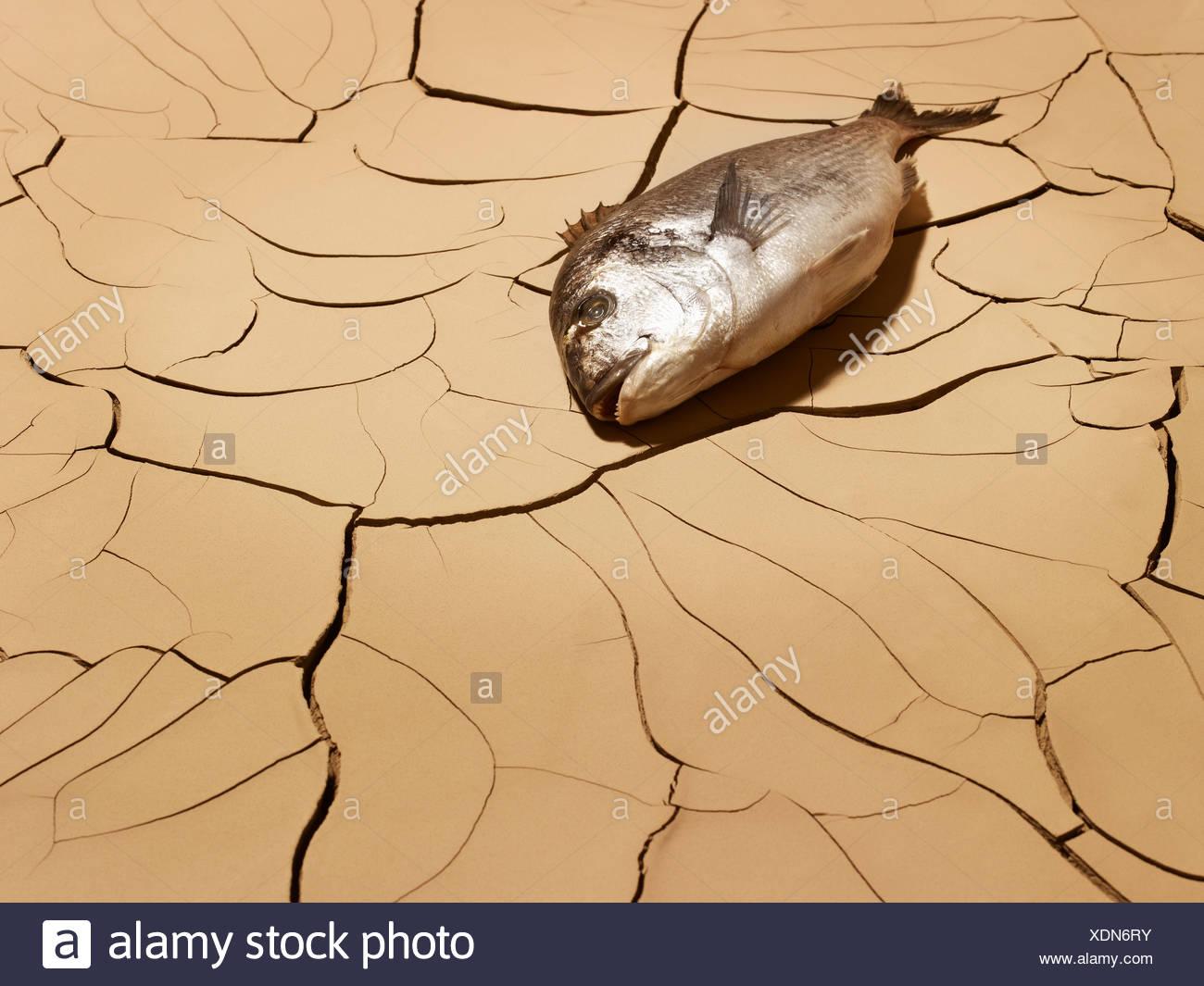 I pesci morti la posa sul fango incrinato Immagini Stock