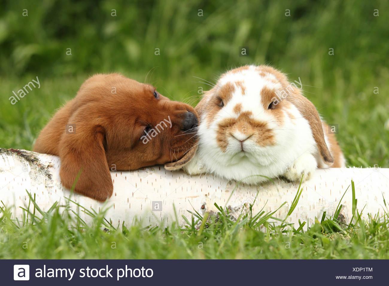 Il Labrador Retriever e Dwarf Lop-eared bunny. Cucciolo (6 settimane di età) sniffing al coniglio, mentre giaceva su un registro di betulla. Germania Immagini Stock