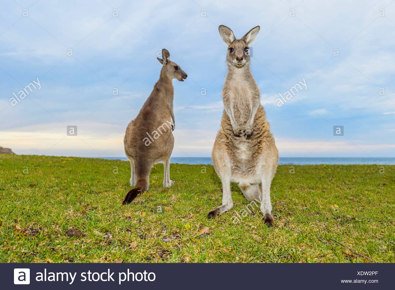 Grigio canguro, Macropus giganteus, due animali, Murramarang National Park, New South Wales, Australia Immagini Stock