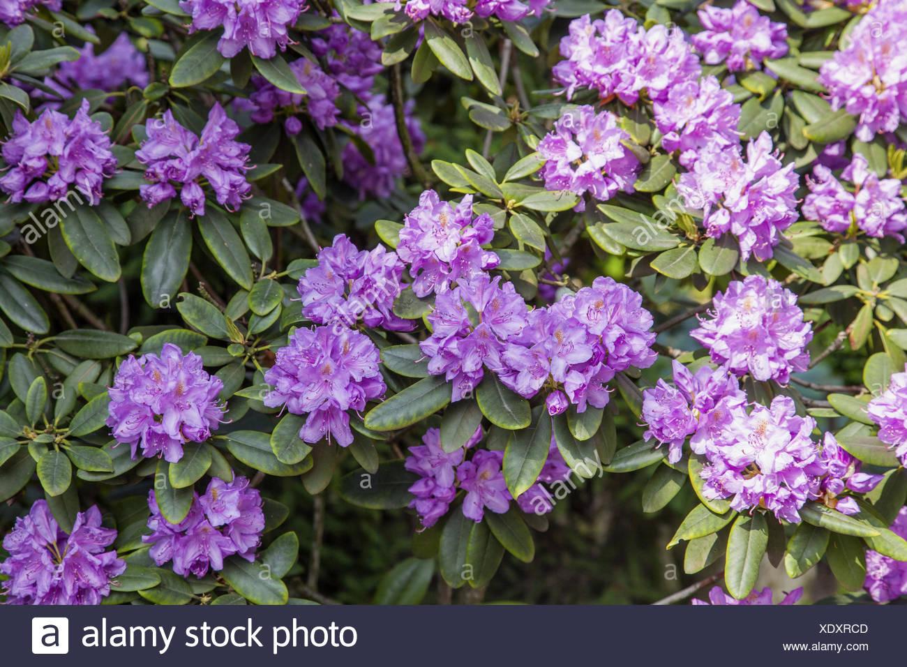 Latifoglie Attraente Arbusto Sempreverde Con Fiori Di Lavanda In Primavera.