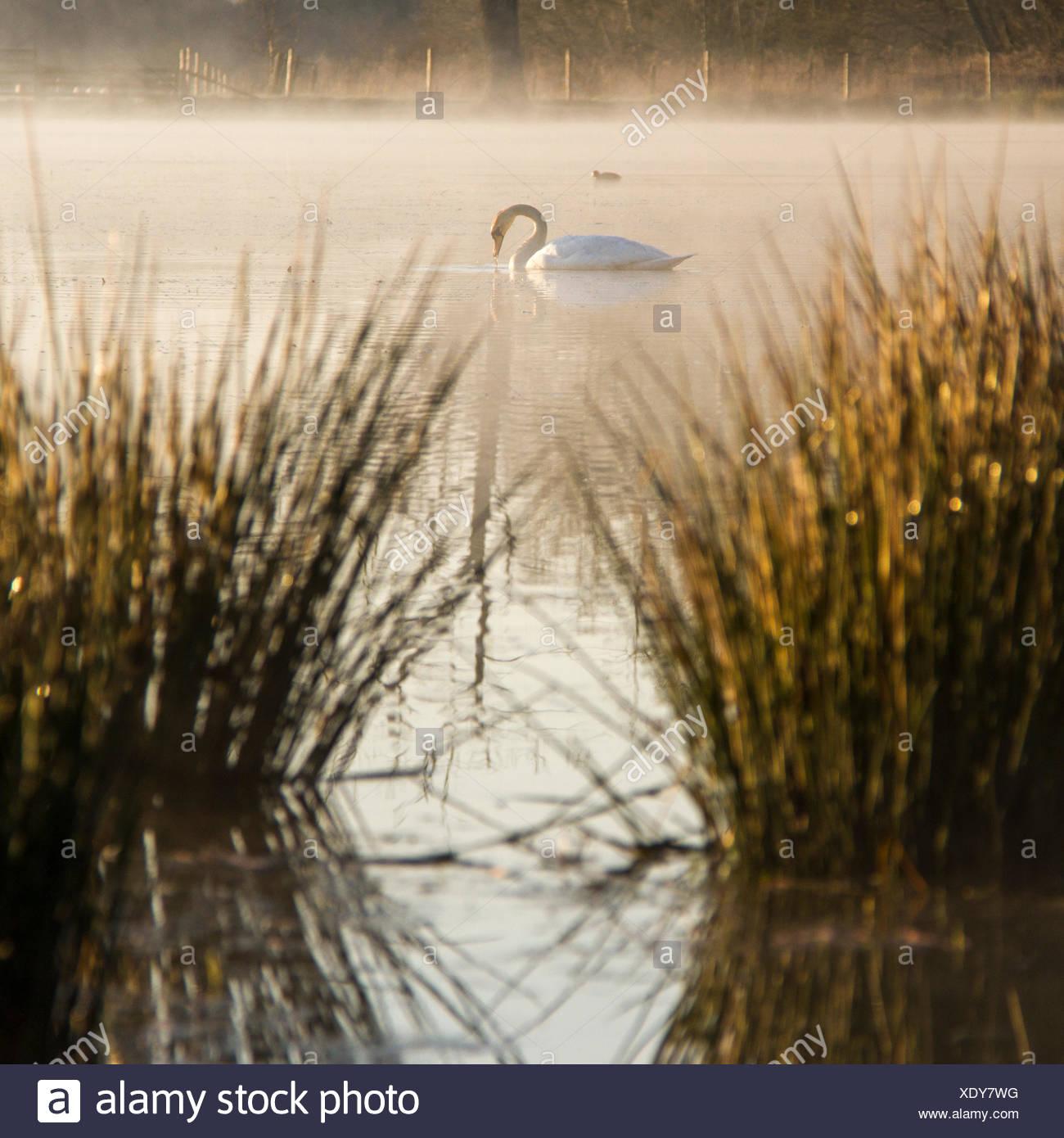 Cigno sul lago al sole al mattino Immagini Stock