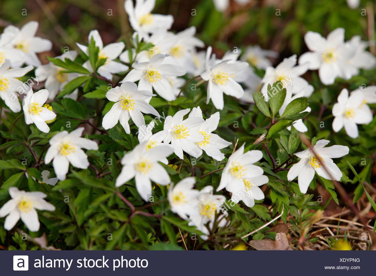 Legno anemone, Windflower, Thimbleweed o odore fox (Anemone nemorosa ,), Allier, Francia, Europa Immagini Stock