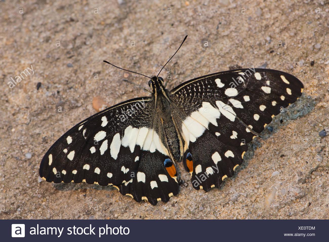 Calce comune Butterfly (Papilio demoleus), prigionieri Emsland, Bassa Sassonia, Germania Immagini Stock