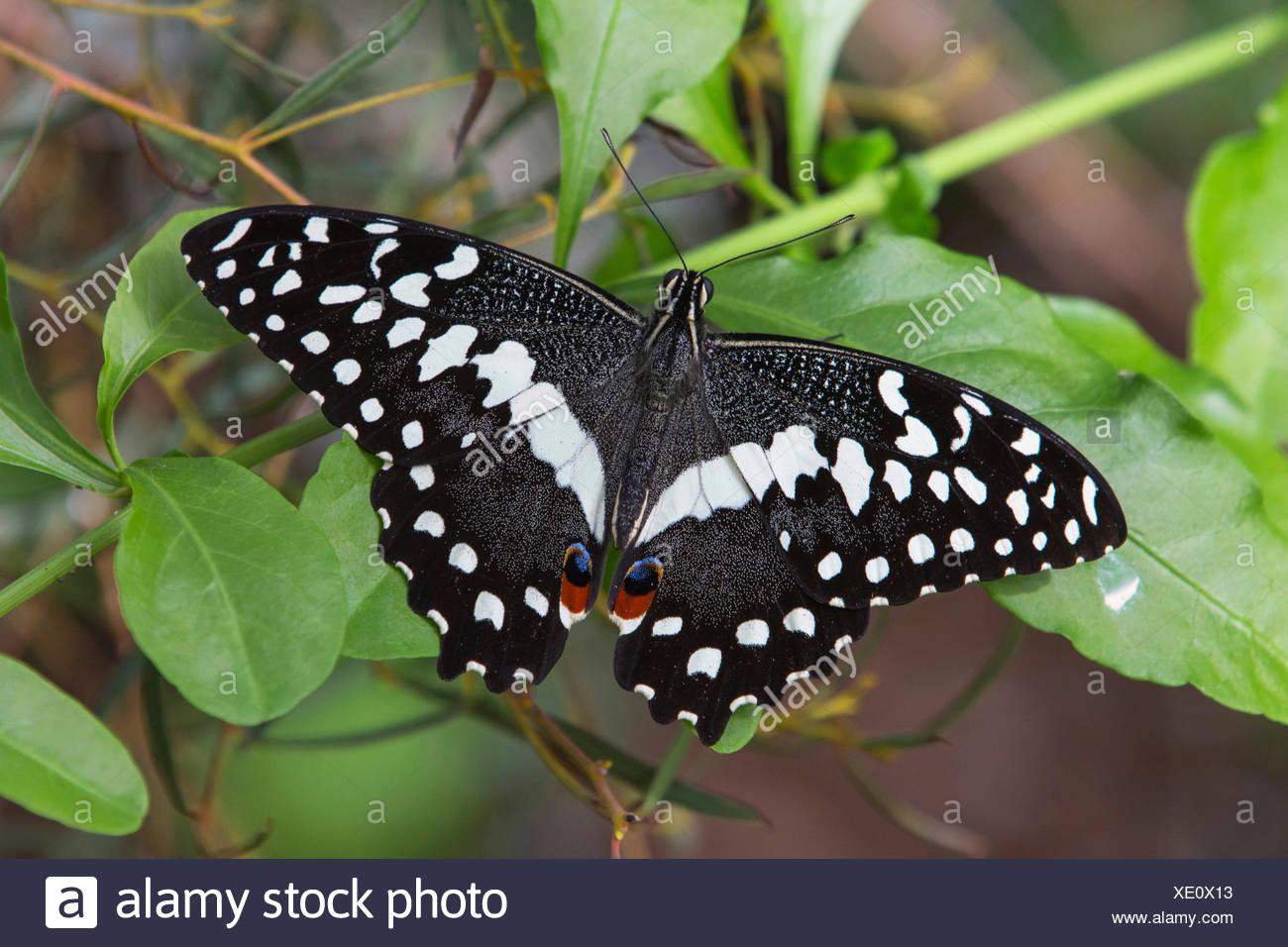 A coda di rondine a scacchi (Papilio demoleus), seduta con ali aperte su uno stelo Immagini Stock