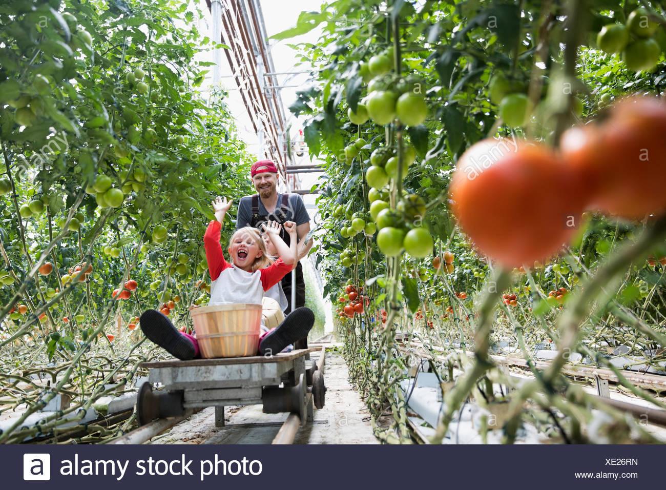 Padre spingendo bambini allegri su carrello tra crescita di piante di pomodoro in serra Immagini Stock