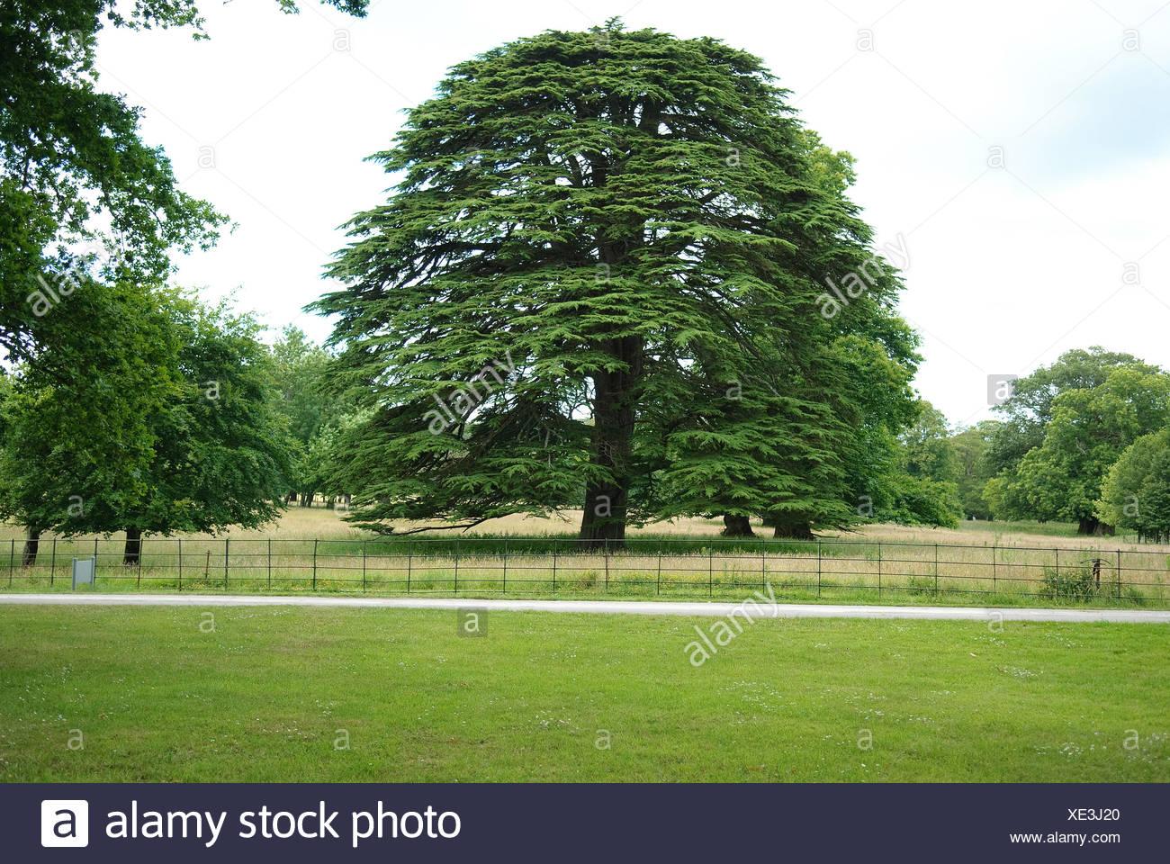 Il cedro del Libano (Cedrus libani), albero singolo Immagini Stock