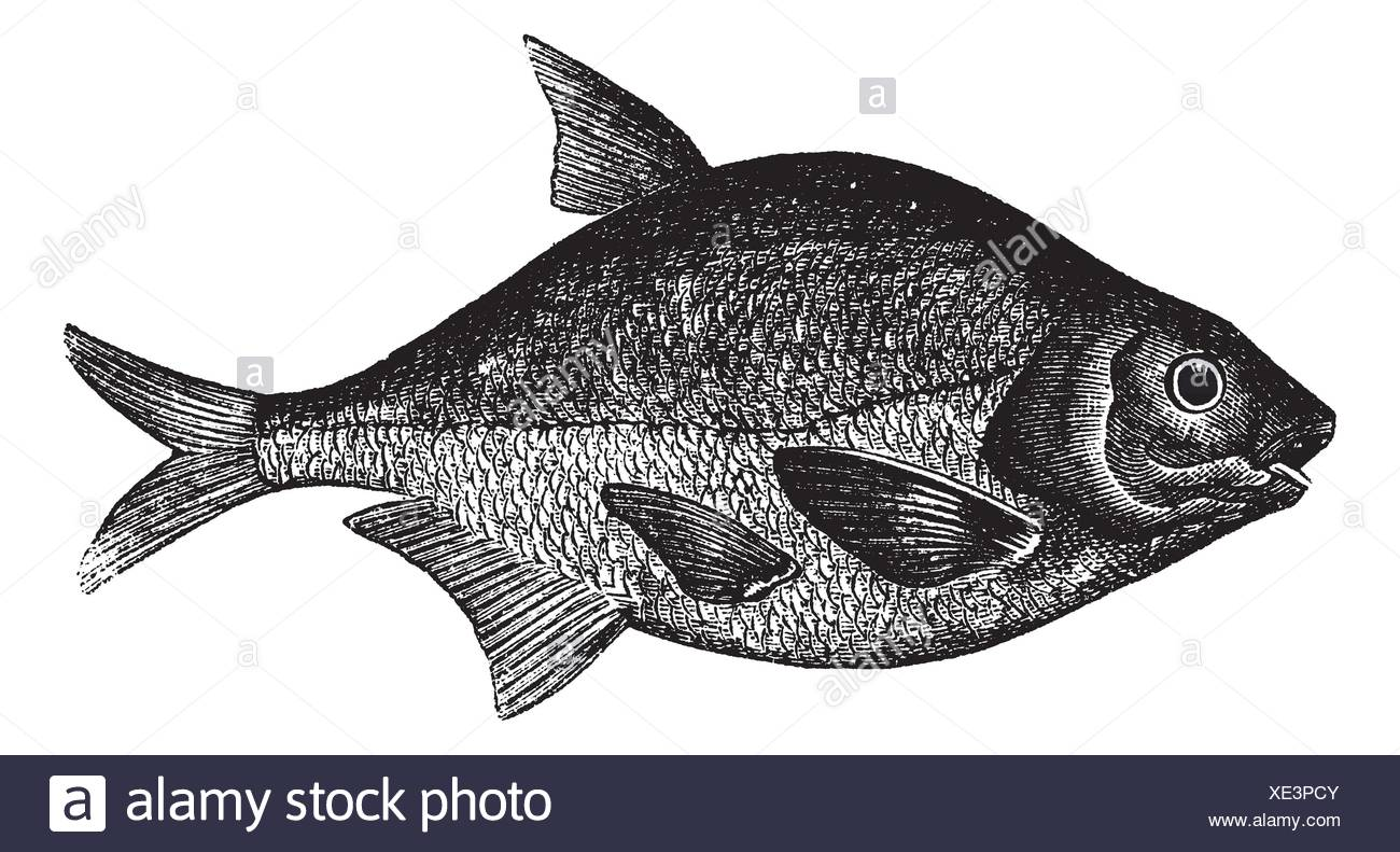 Orate comune noto anche come abramis brama acqua dolce for Pesce pulitore acqua dolce