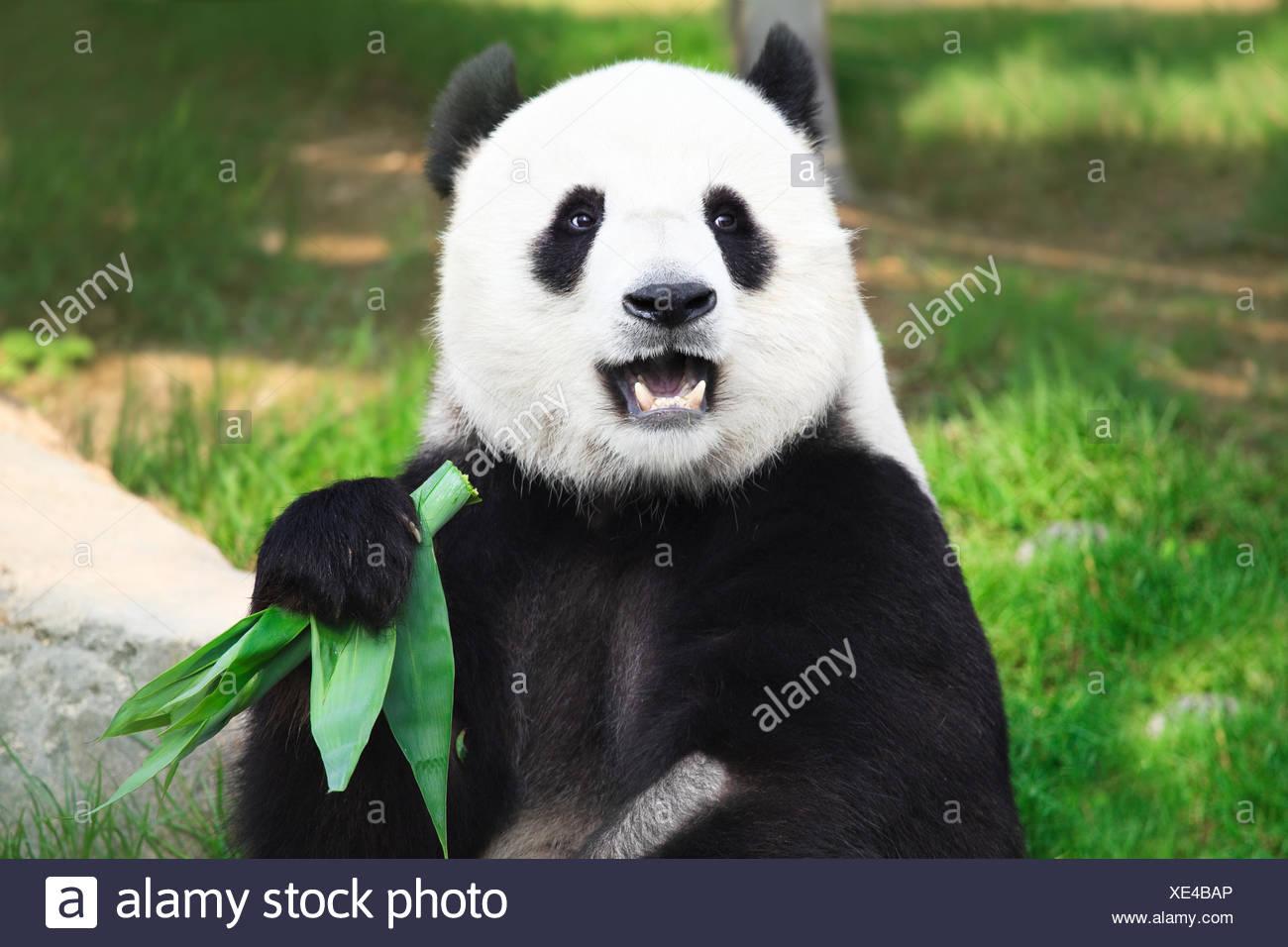 Orso animale nero Immagini Stock