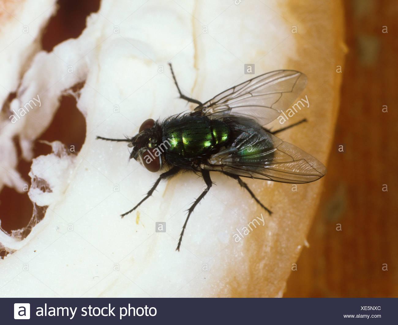 Verde-bottiglia (Lucilia sericata) adulto vola Immagini Stock