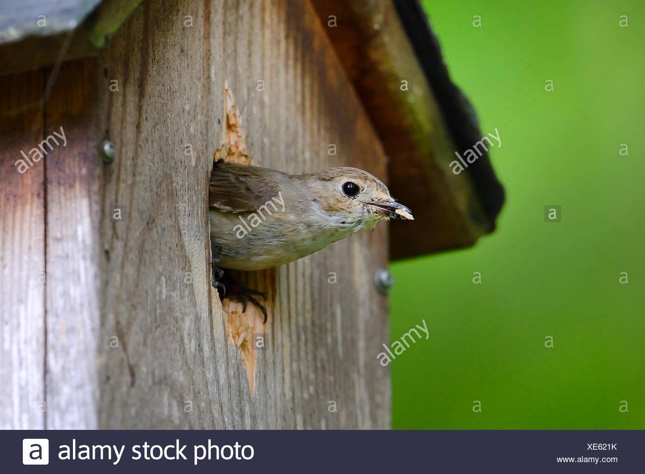 Trauerschnaepper, Trauer-Schnaepper, Trauerfliegenschnaepper, Trauer-Fliegenschnaepper (Ficedula hypoleuca), raeumt Schmutz vom Immagini Stock