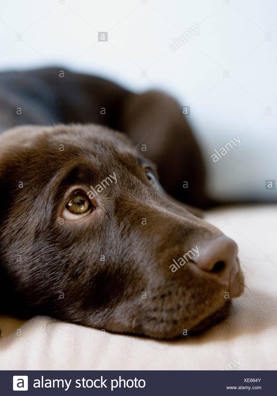 Cucciolo marrone Immagini Stock