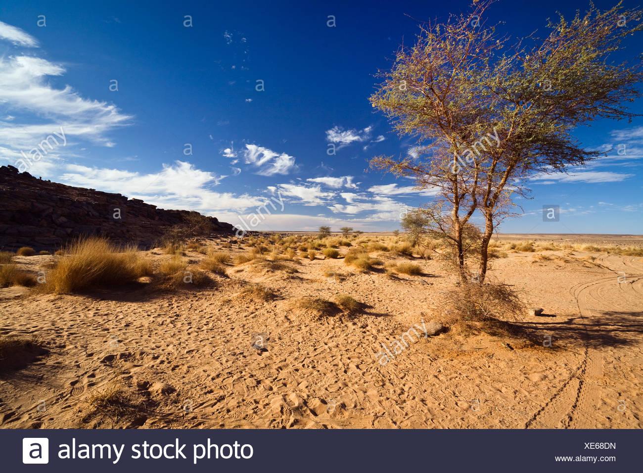 Acacia (Acacia sp.) in un deserto pietroso, Libia, Africa Immagini Stock