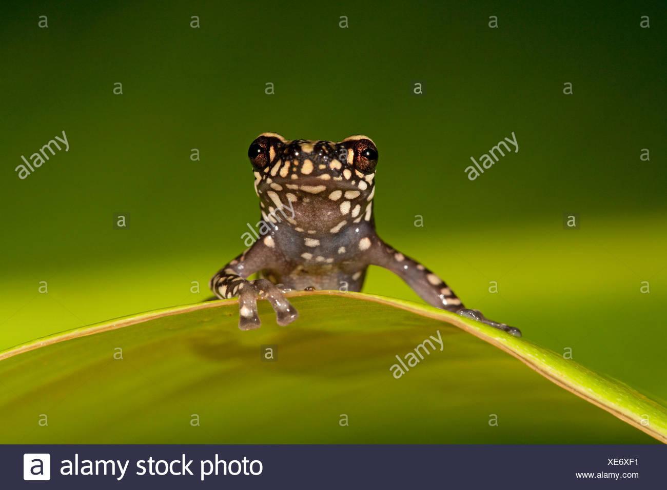 Foto di una collina Tukeit rana in appoggio su una foglia verde contro uno sfondo verde Immagini Stock