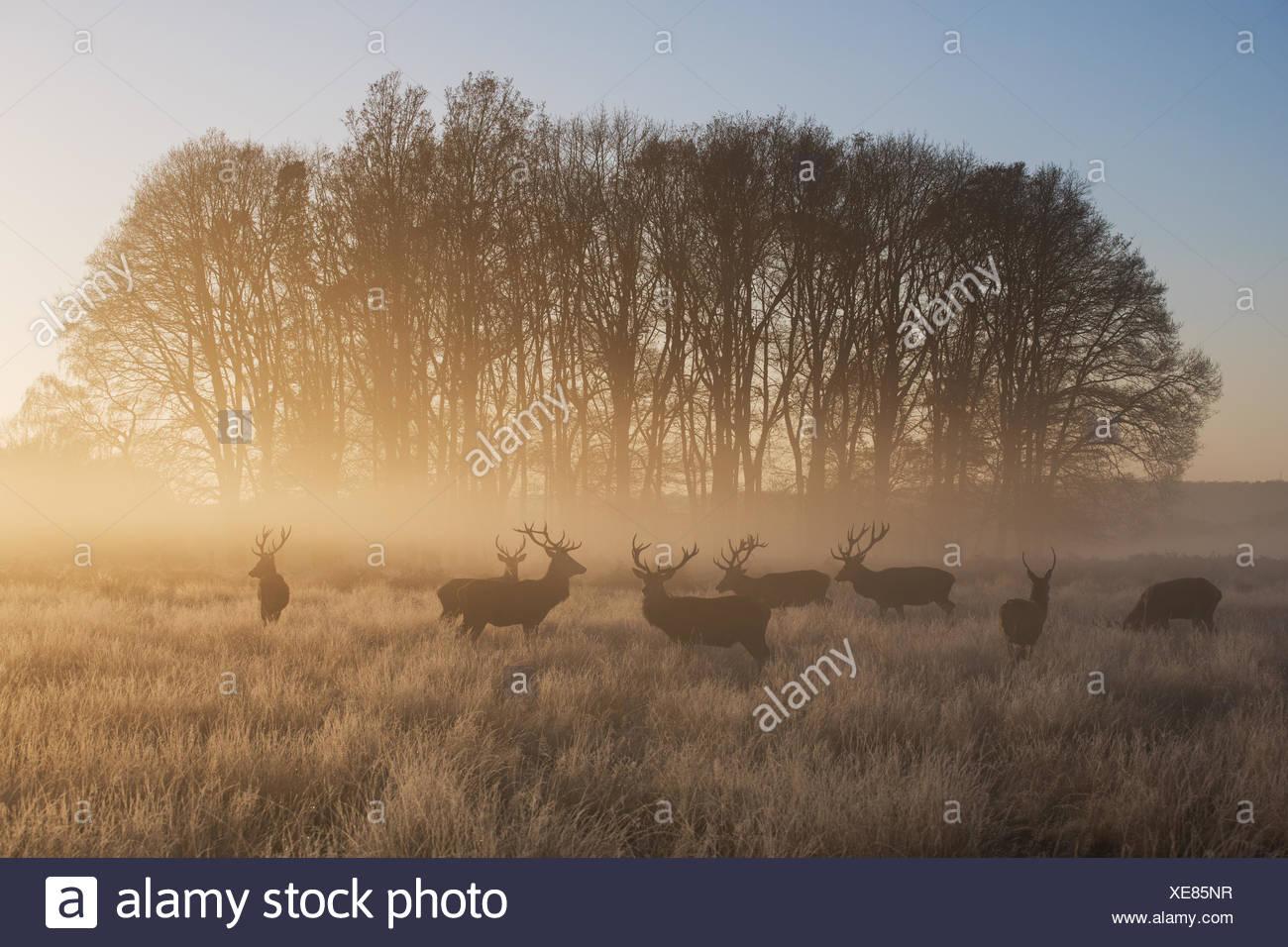 Un grande gruppo di cervi cervi, Cervus elaphus, in Richmond Park all'alba. Immagini Stock