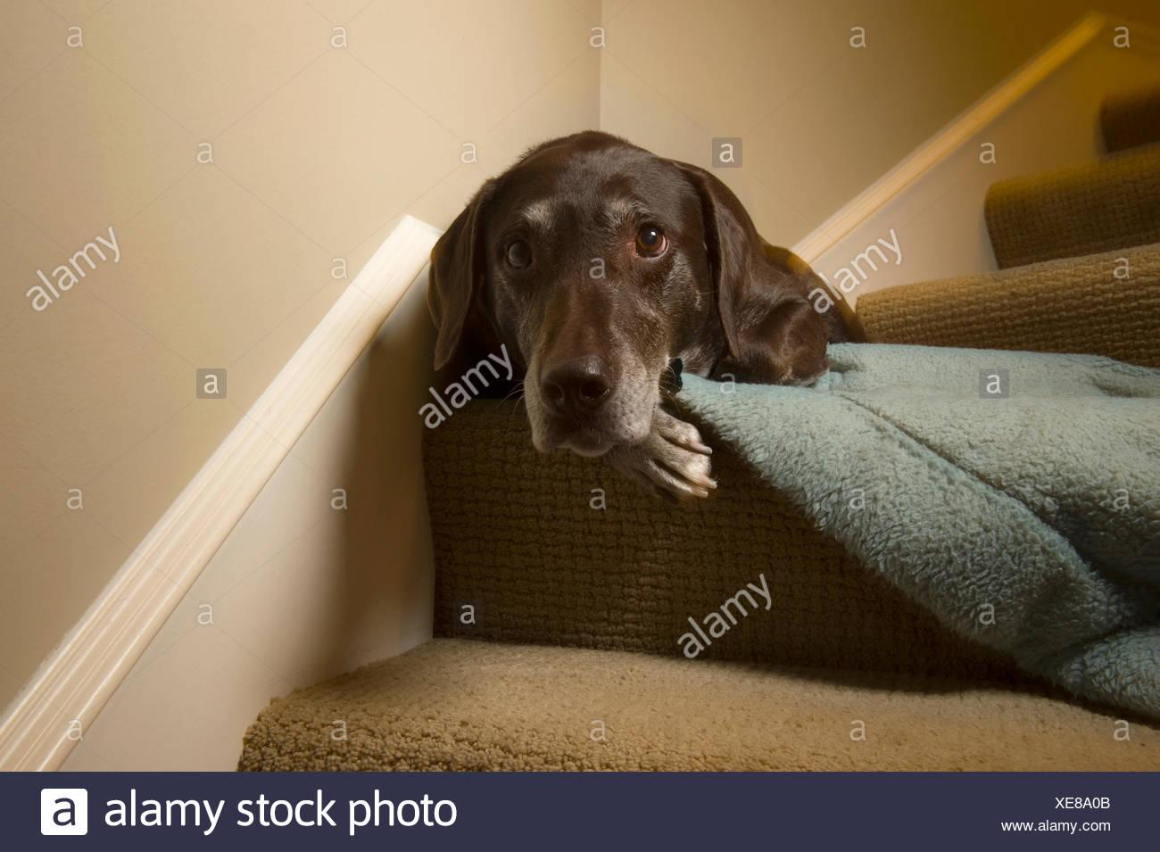Close-up di un cane dorme sul bordo delle scale. Immagini Stock