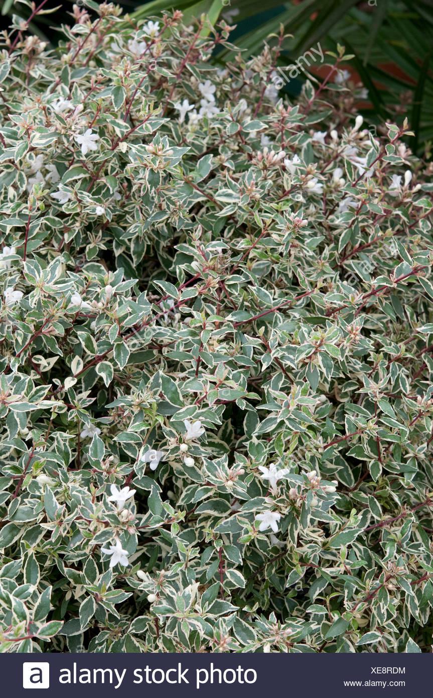 Abelia X Grandiflora Confetti Conti Pbr Foto Immagine Stock