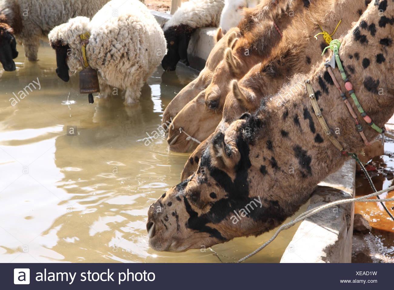 Cammelli del deserto di Thar Immagini Stock