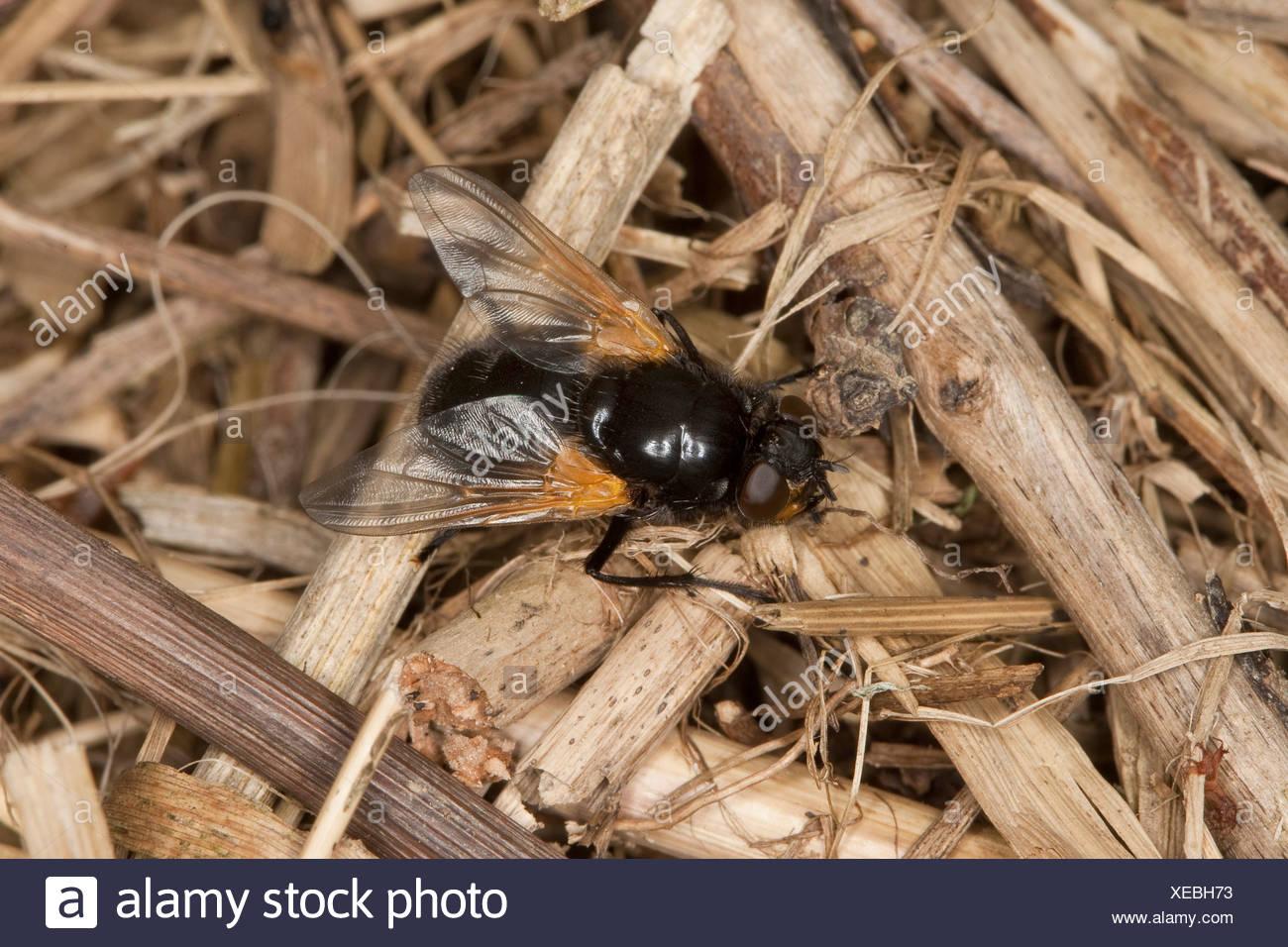 Mezzogiorno-fly, noonfly (Mesembrina meridiana), imago Immagini Stock