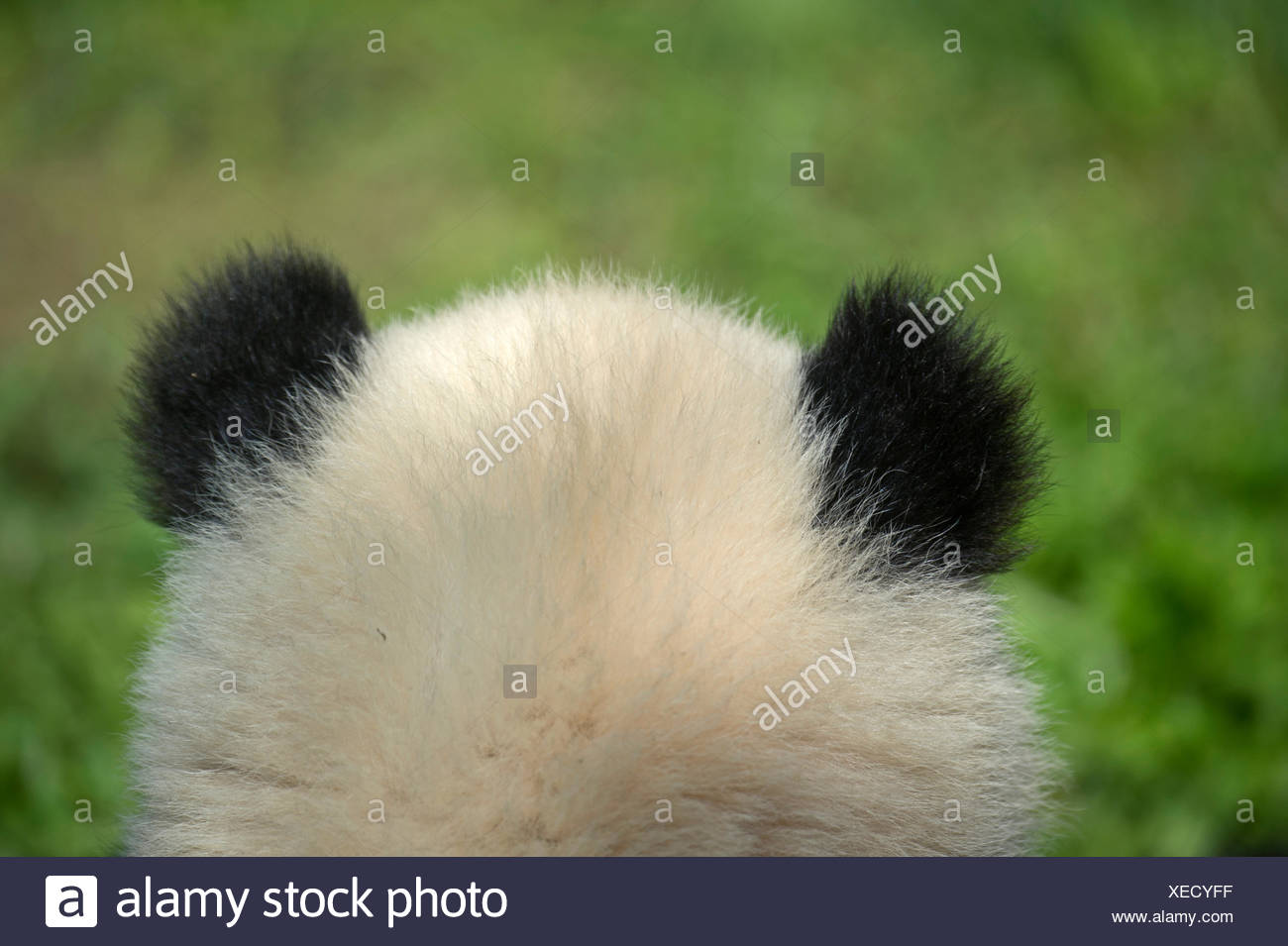 A sei mesi di vecchio panda gigante al Djianyan Panda Base. Immagini Stock