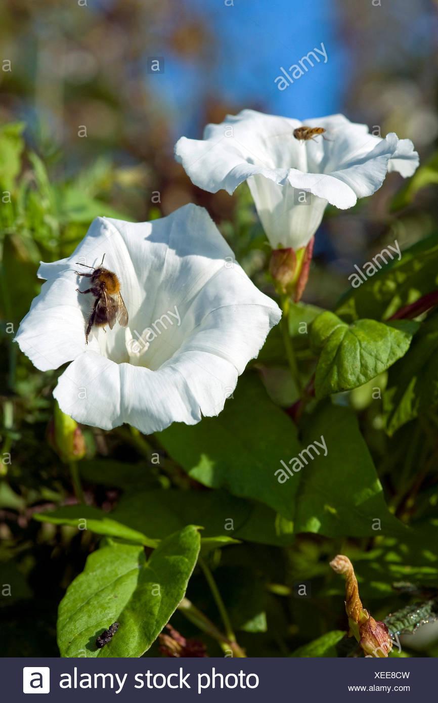 Bellbine, Hedge centinodia, Hedge false centinodia, Lady's-drink prima di andare a dormire, Rutland bellezza, maggiore centinodia (Calystegia sepium, Convolvulus sepium), fiore con umile bee, Germania Immagini Stock