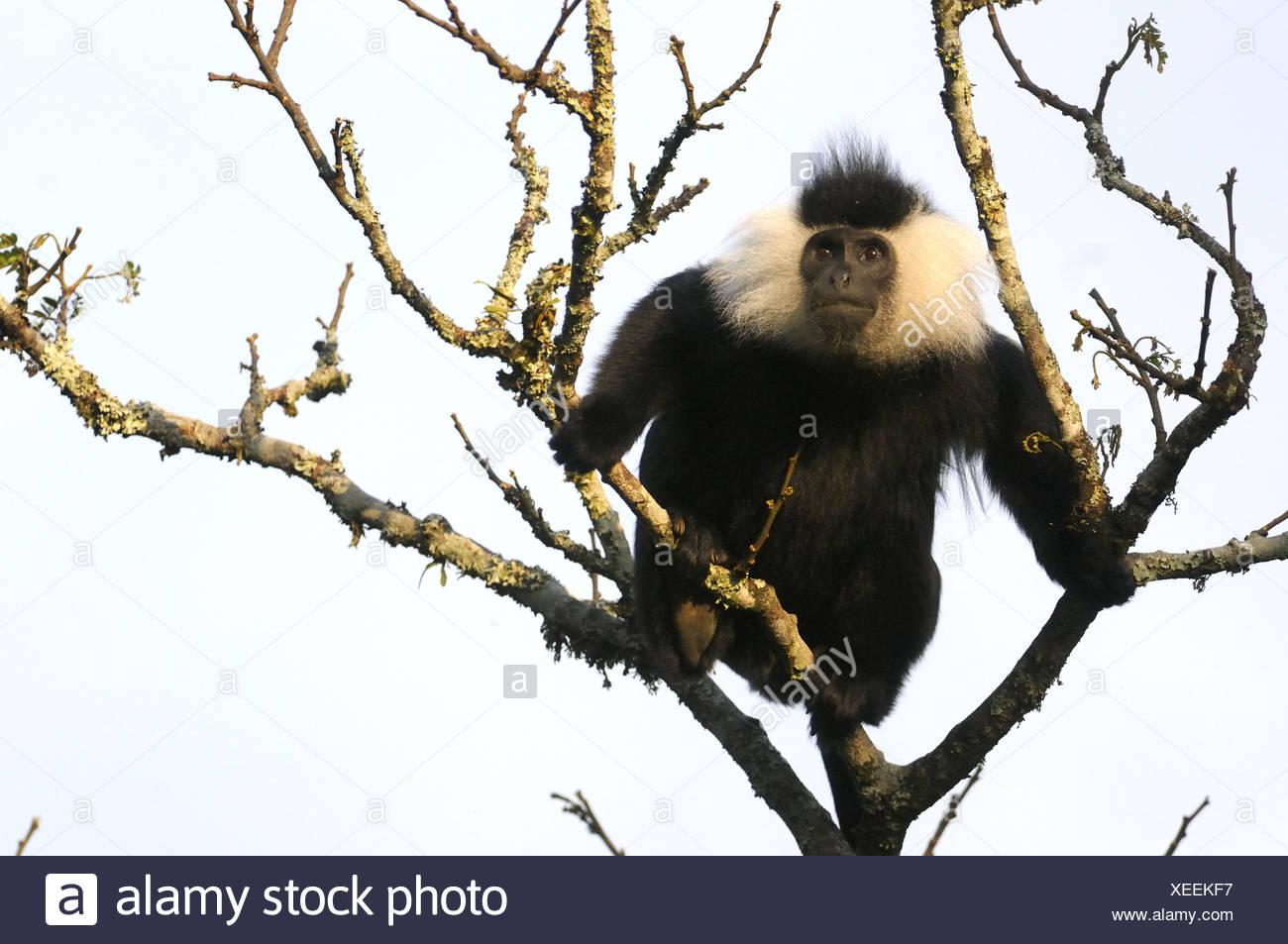 Eastern Black and White Colobus Monkey (Colobus guereza) Nyunguwe National Park, Ruanda, Africa Immagini Stock