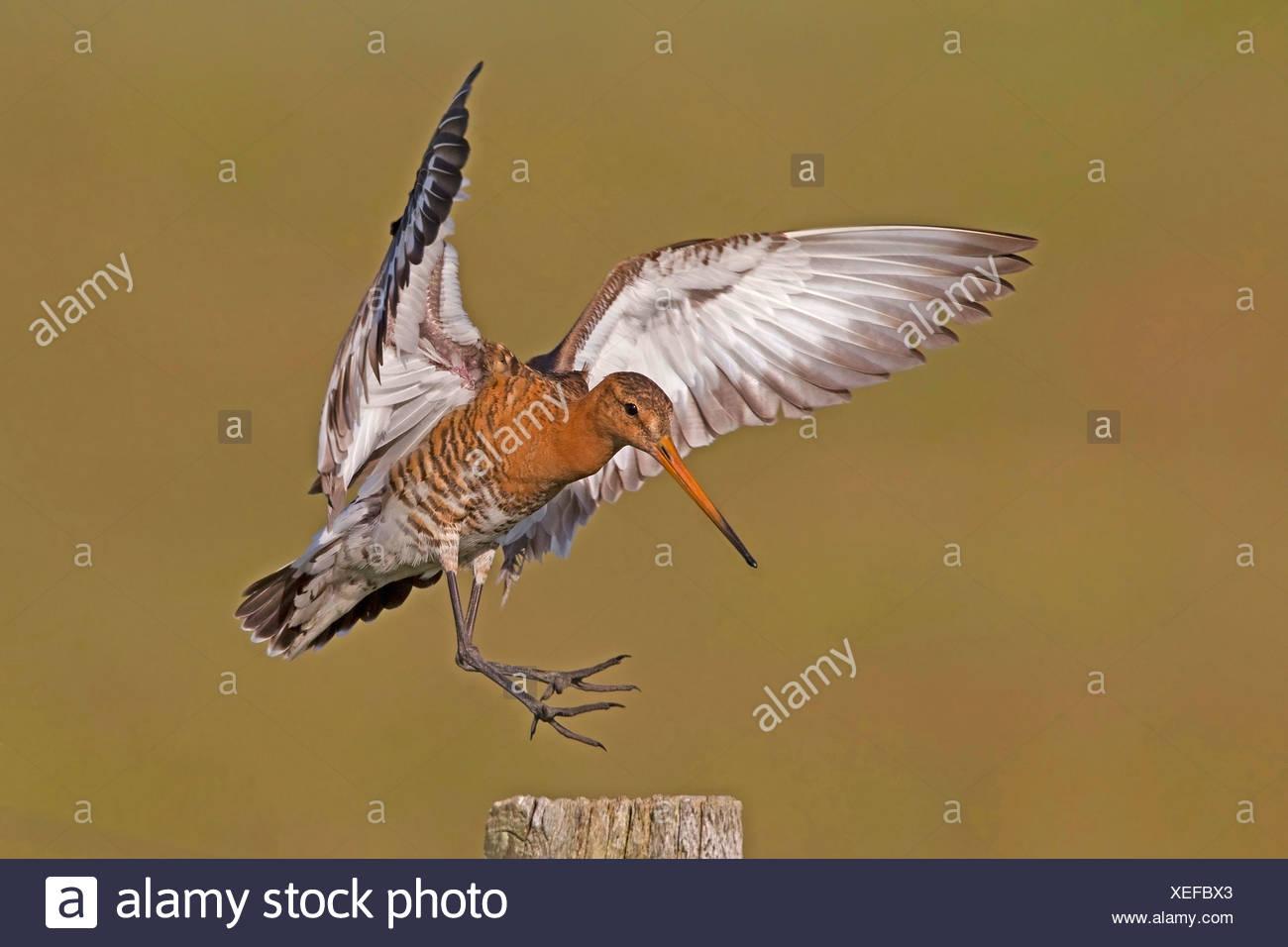 Nero-tailed godwit (Limosa limosa), atterraggio su un pascolo post, Paesi Bassi Immagini Stock