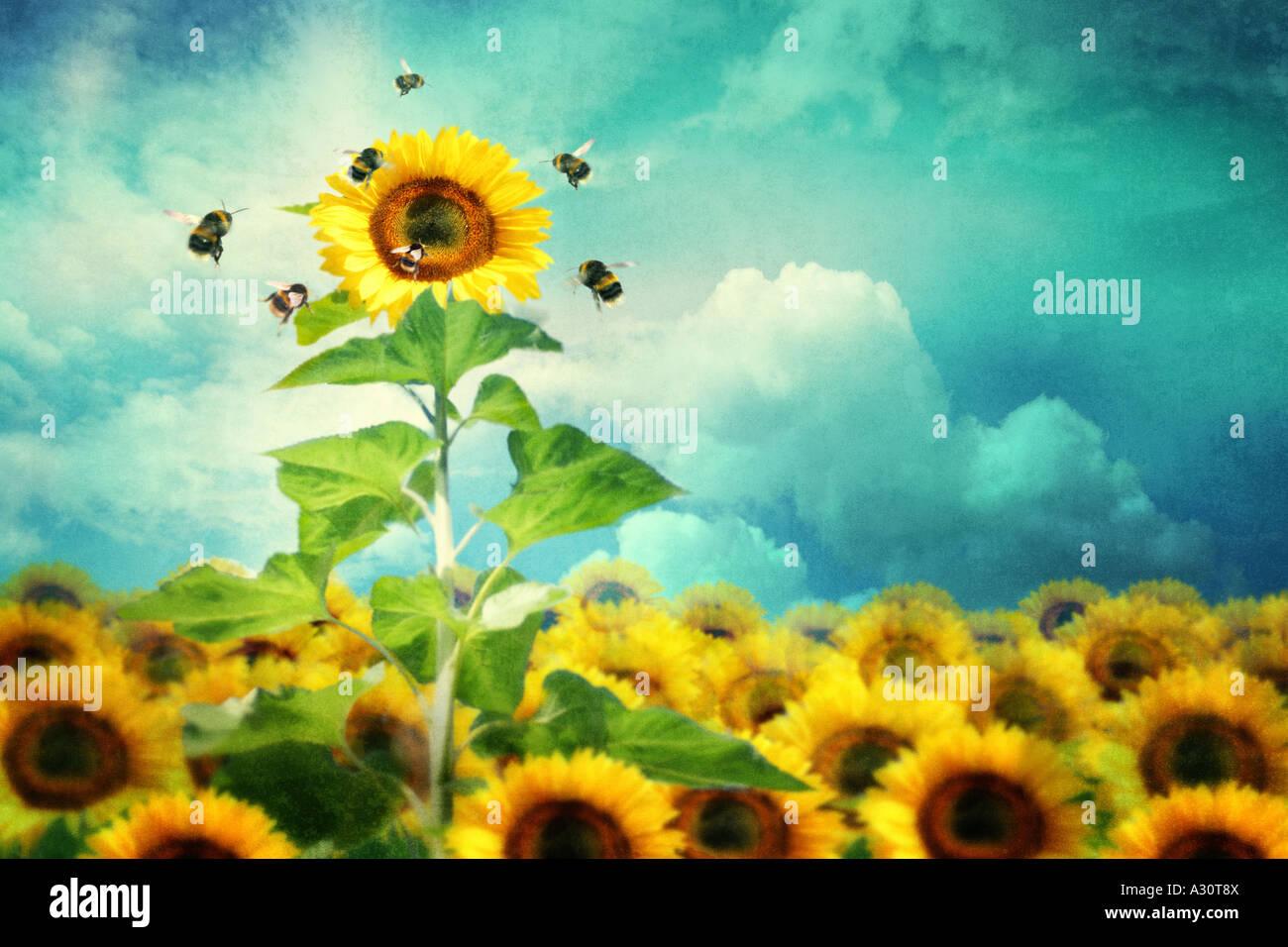 Imagem de um conceito de altura e permanente de girassol atrair mais abelhas Imagens de Stock