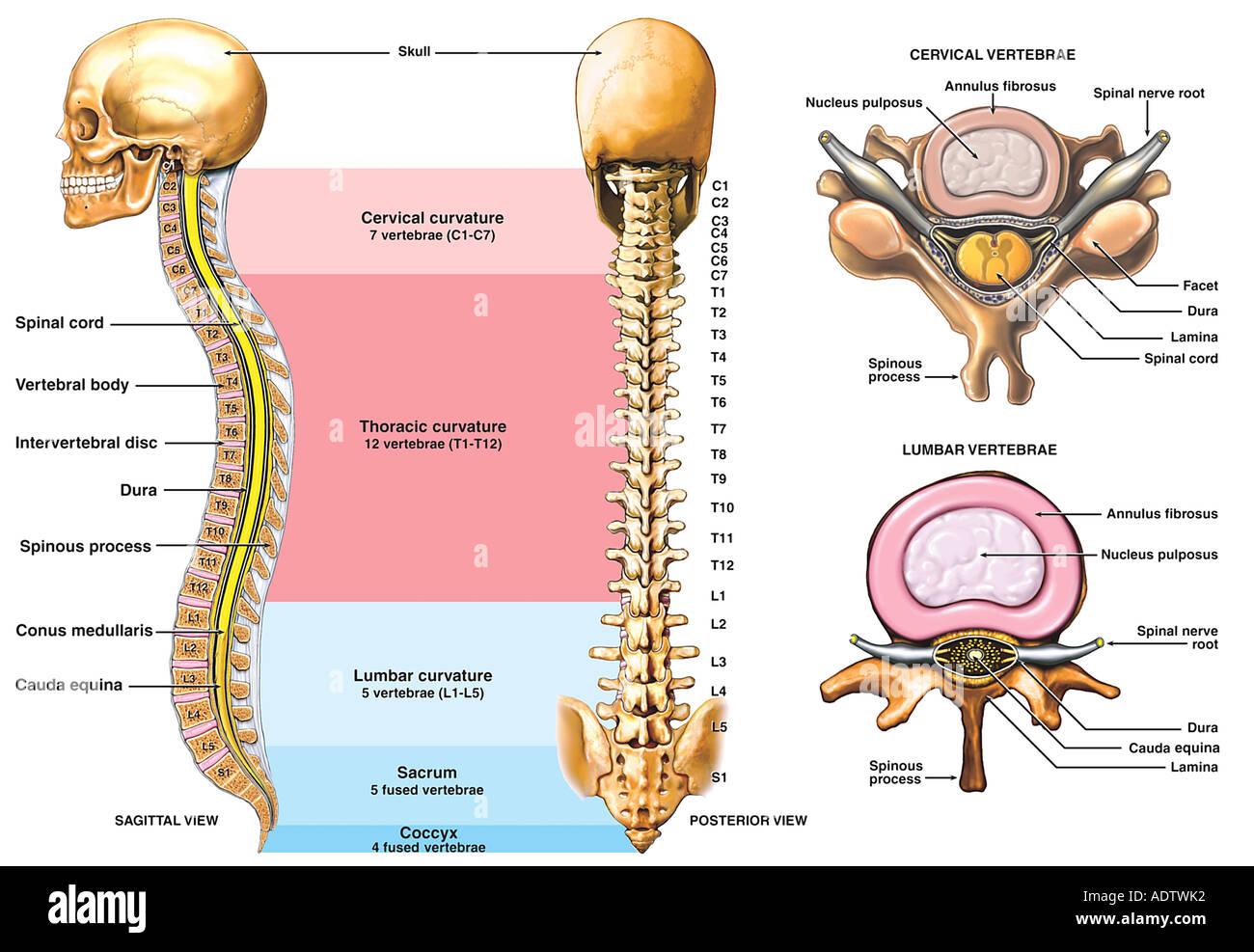 Perfecto Anatomía De Las Vértebras Cervicales Molde - Imágenes de ...