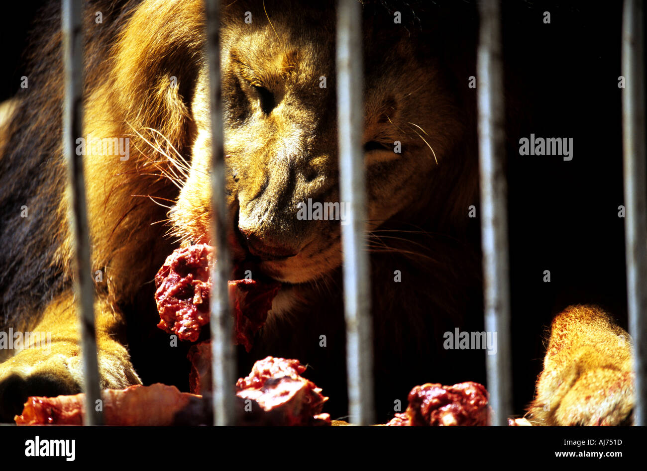 Casa De Leoes abissínia leões que são descendentes daqueles pertencentes ao