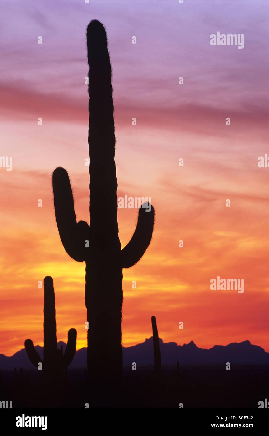 O Saguaro cactus contra o céu dramático pôr-do-sol, Saguaro National Park, Arizona, ESTADOS UNIDOS Imagens de Stock
