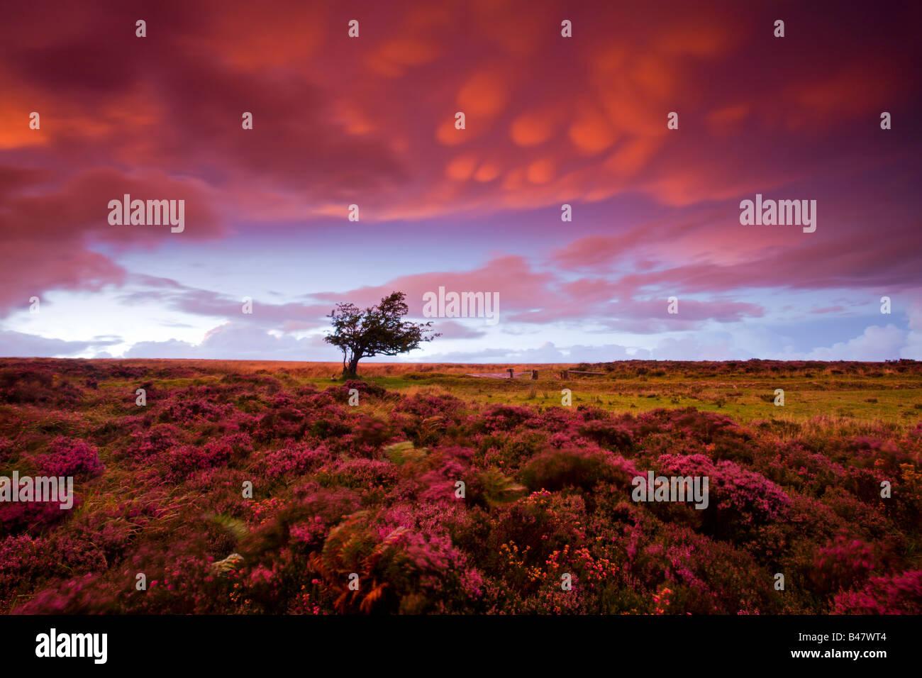Tempestade o pôr-do-sol sobre o piso alcatifado Dunkery heather Hill Exmoor National Park Somerset Inglaterra Imagens de Stock