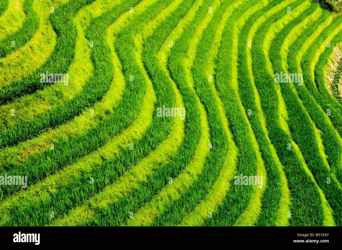 O terraços de arroz em tempo surpreendente Ji, Guangxi Imagens de Stock