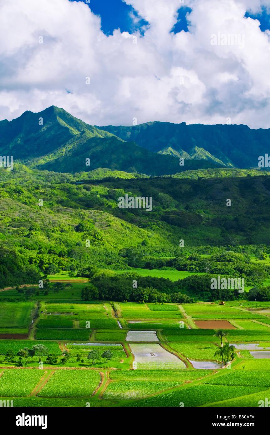 Taro campos na Ilha de Kauai Hanalei Valley Havaí Imagens de Stock