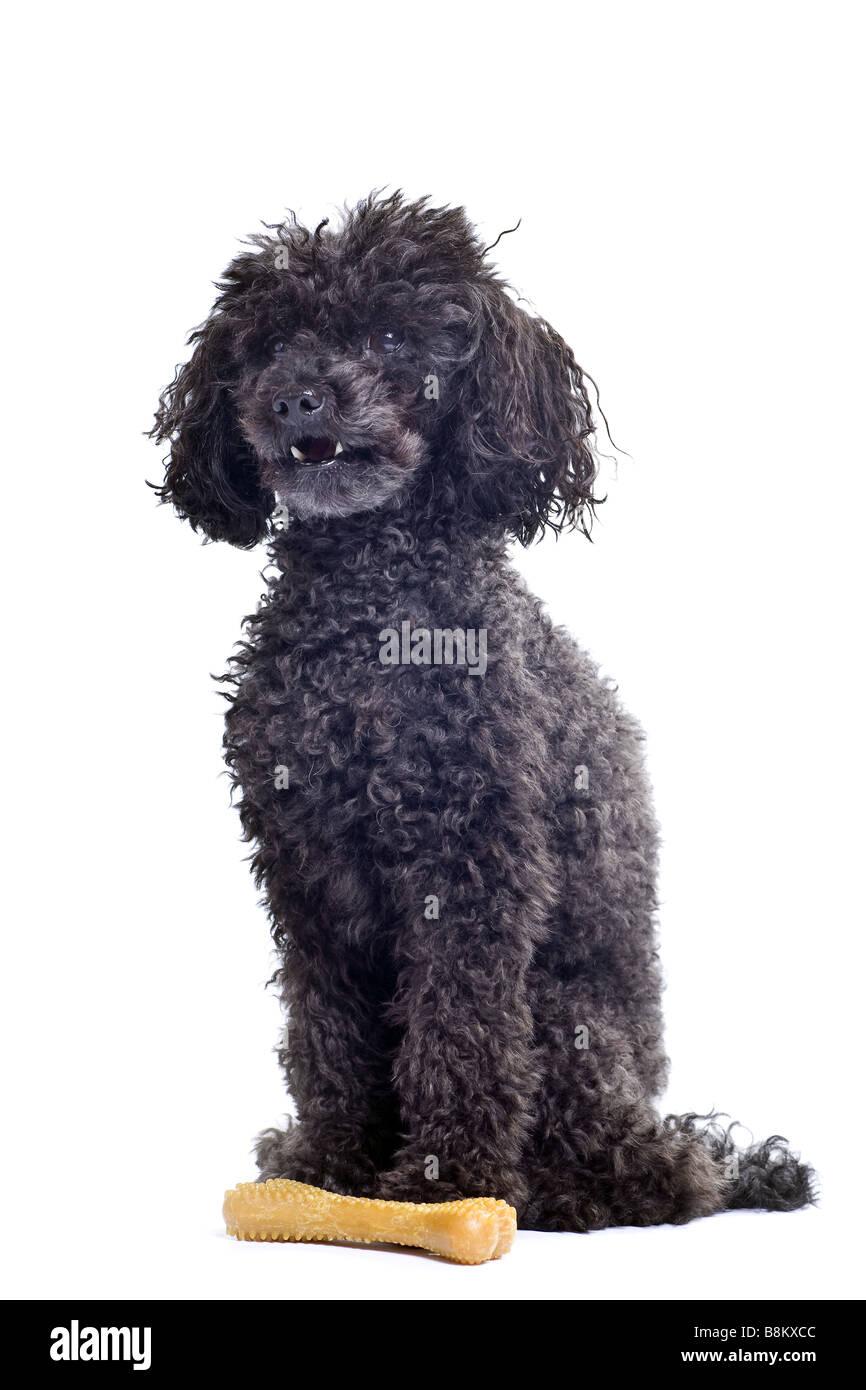 black toy poodle isolated on white background Stock Photo