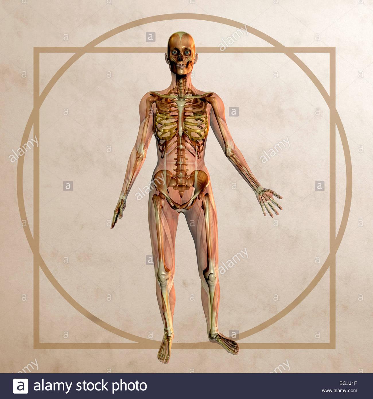 Anatomia gráfico no estilo de Leonardo da Vinci Homem Vitruviano ...