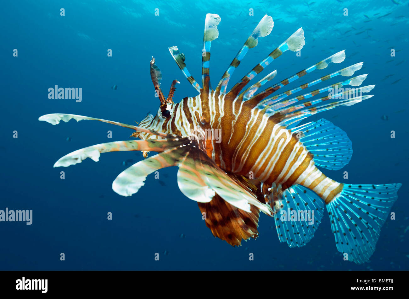 Lionfishes. Egipto, Mar Vermelho. Imagens de Stock