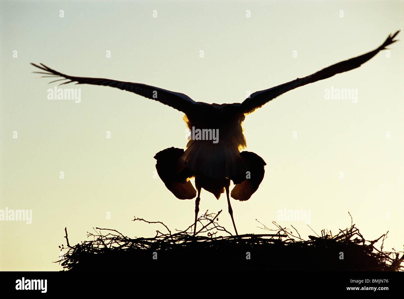 Acasalamento de cegonhas Imagens de Stock