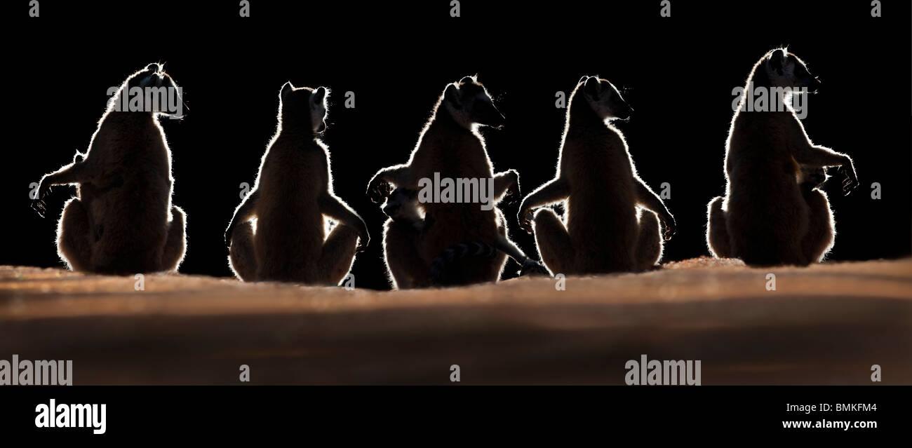 Ring-tailed lémures sun basking ao amanhecer, Berenty Reserva Particular, no sul de Madagáscar Imagens de Stock