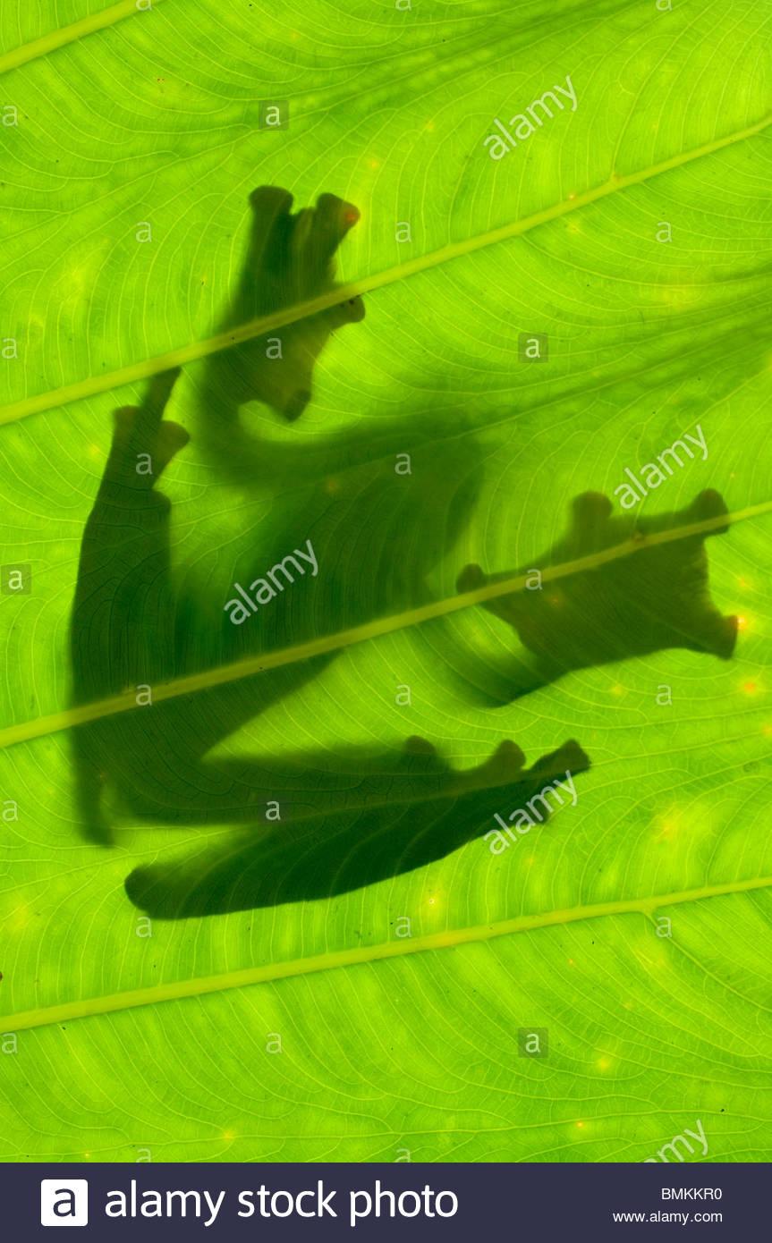 Silhueta de voar do Wallace Frog sobre folhas de palmeira. Danum Valley, Sabah, Bornéu. Imagens de Stock