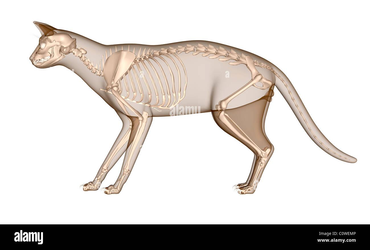 Anatomia do esqueleto de gato Foto, Imagem de Stock: 34981094 - Alamy