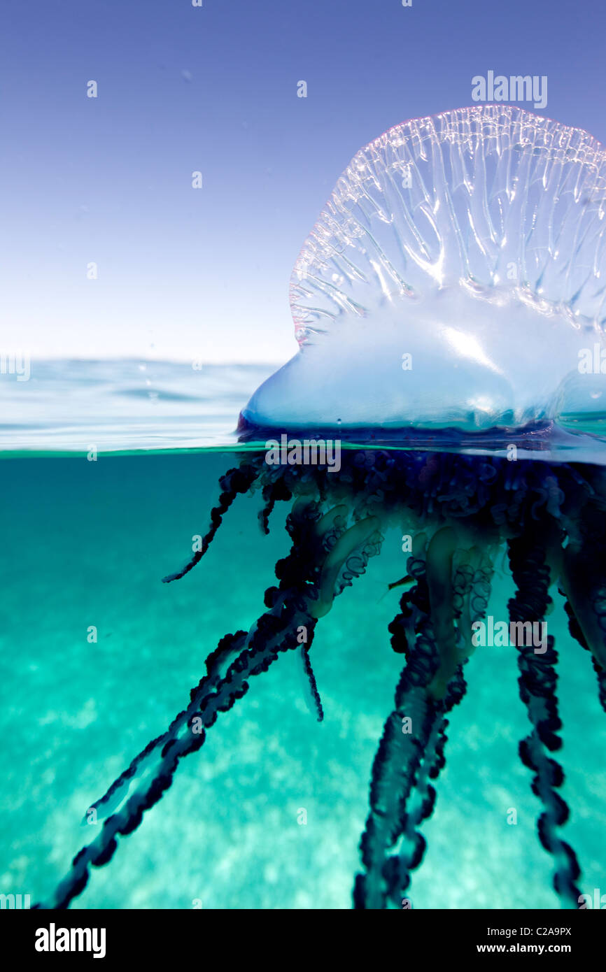 Sobre/sob visão de um Homem Português de guerra, uma geléia marine invertebrado da família Physallidae. Imagens de Stock