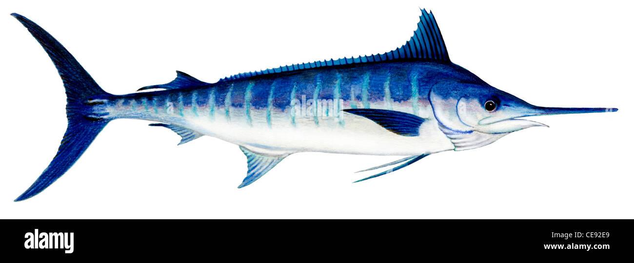 Espadim azul do Atlântico (Makaira nigricans), desenho. Imagens de Stock